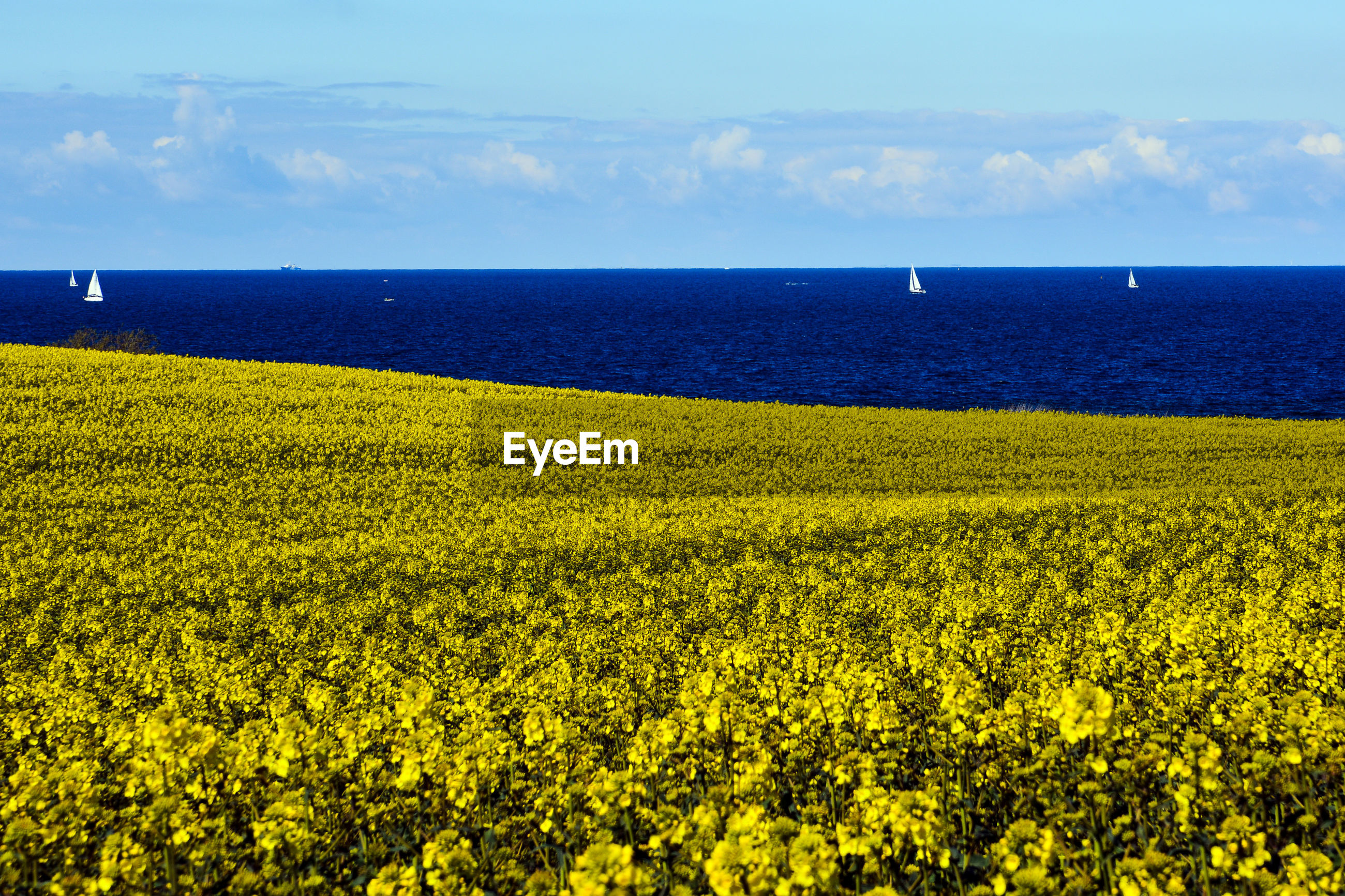 SCENIC VIEW OF YELLOW FLOWER GROWING ON FIELD AGAINST SEA