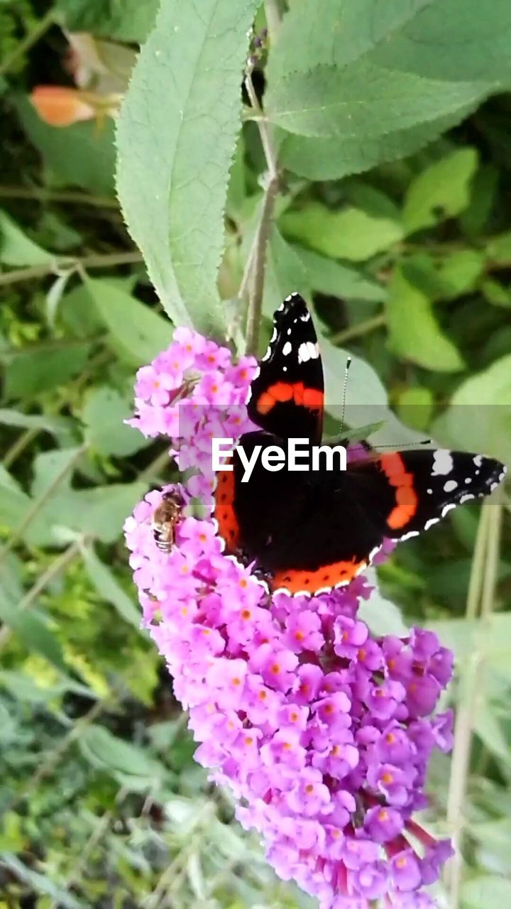 insect, flower, nature, plant, one animal, fragility, animals in the wild, animal themes, freshness, butterfly - insect, growth, beauty in nature, purple, no people, outdoors, green color, petal, day, close-up, pollination, leaf, lantana camara, flower head