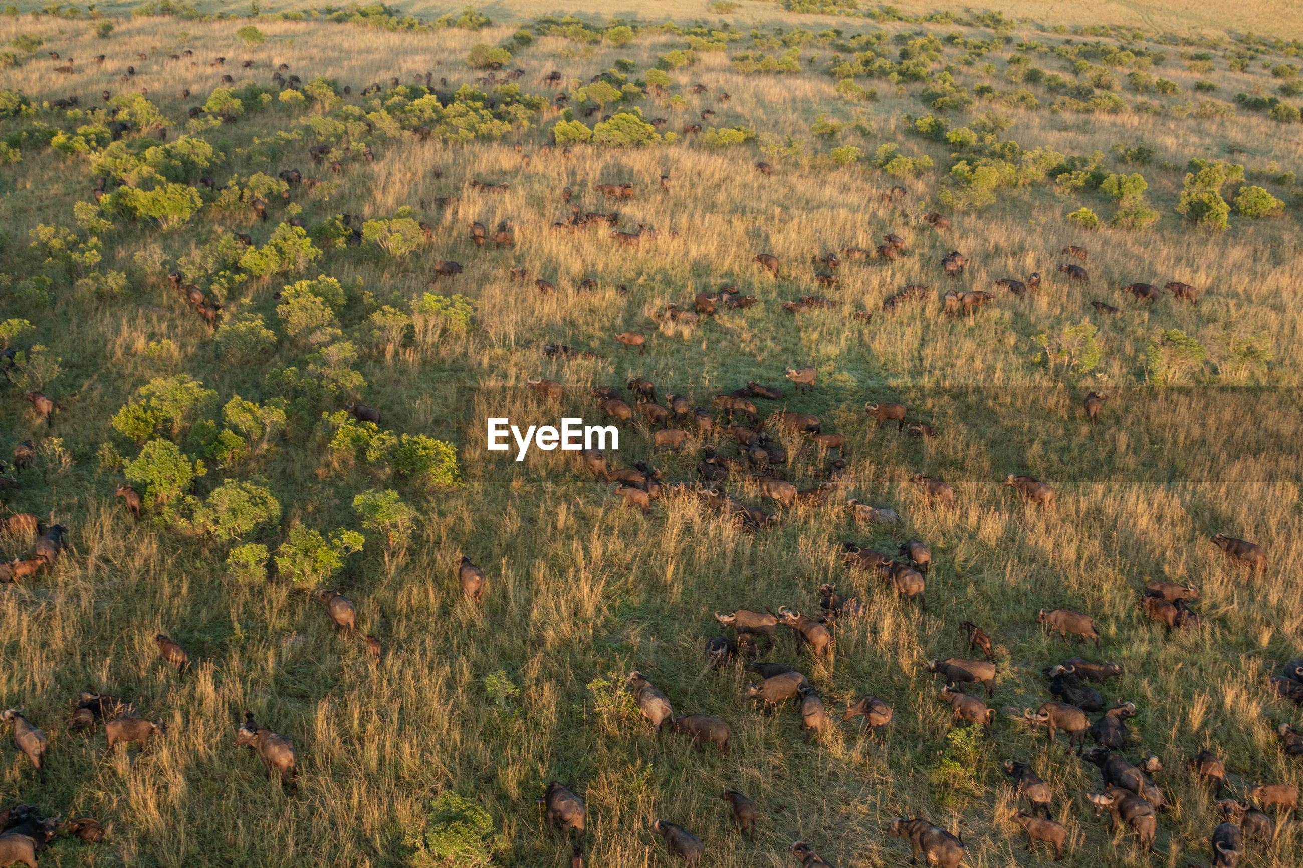 High angle view of wildebeest migration