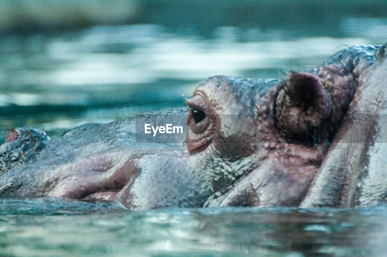 animal, animal themes, water, animals in the wild, animal body part, animal wildlife, one animal, hippopotamus, mammal, animal head, swimming, sea, vertebrate, nature, close-up, no people, day, selective focus, outdoors, mouth open, animal mouth, animal teeth, profile view, marine, herbivorous