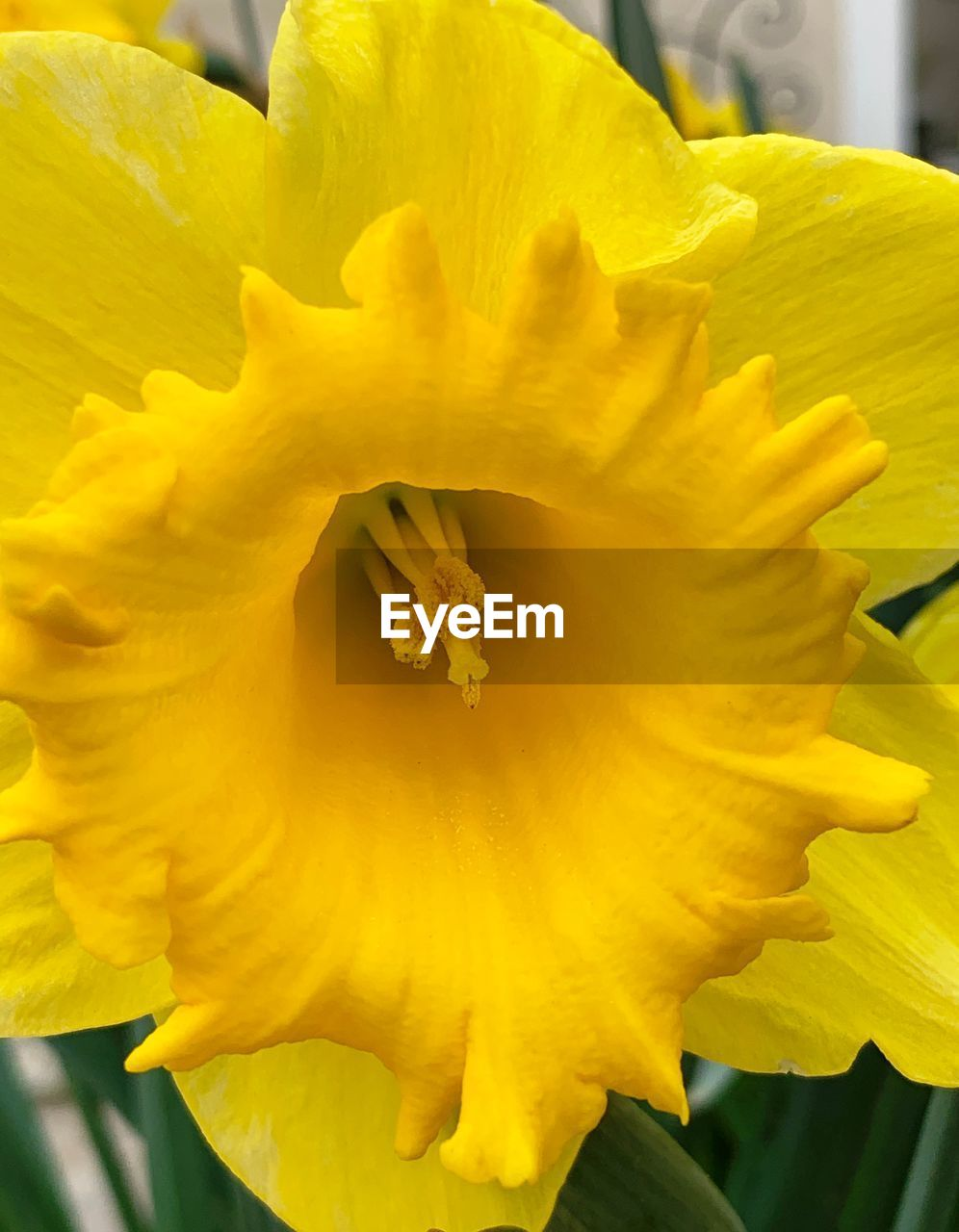 yellow, flower, flowering plant, petal, inflorescence, vulnerability, flower head, beauty in nature, plant, fragility, freshness, close-up, growth, nature, day, daffodil, no people, focus on foreground, pollen