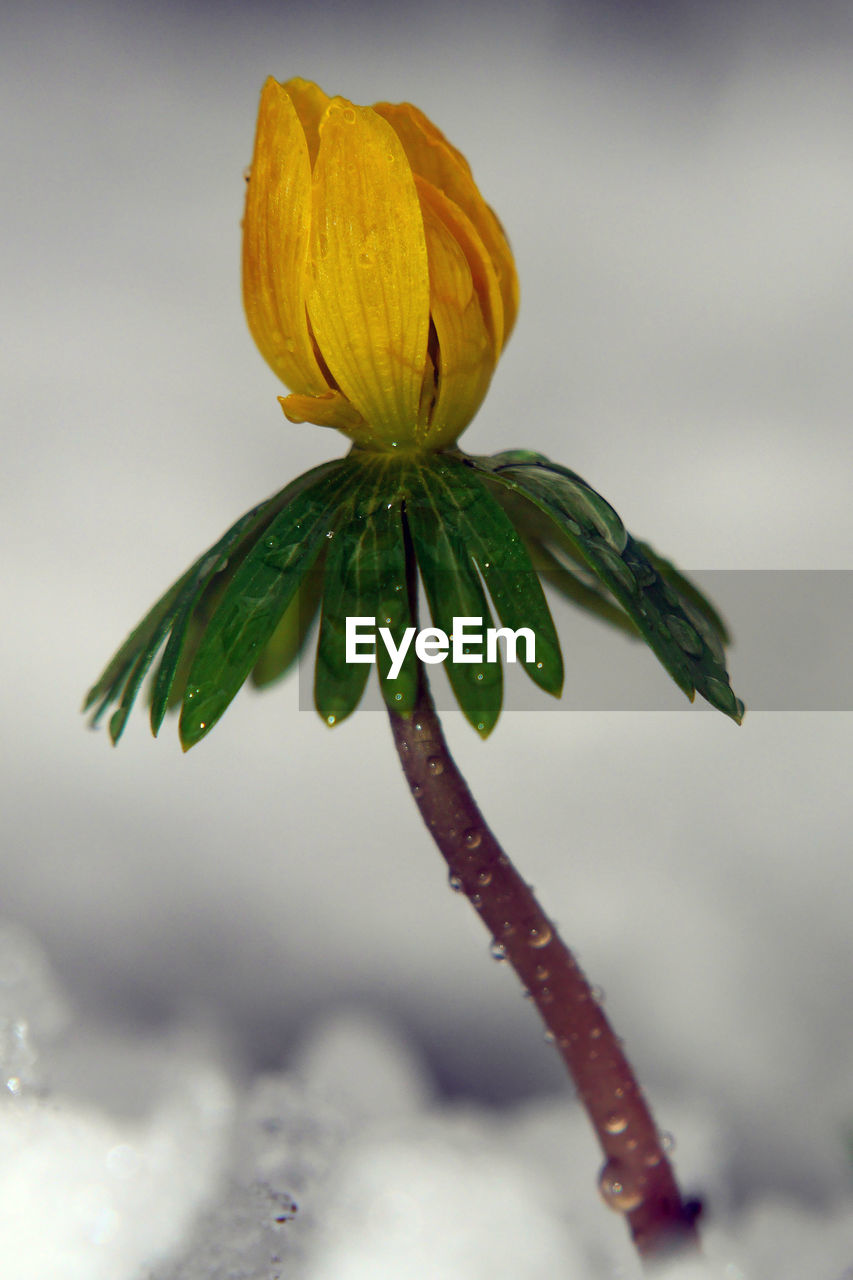 fragility, freshness, flower, drop, beauty in nature, growth, nature, green color, no people, close-up, focus on foreground, petal, plant, outdoors, day, flower head
