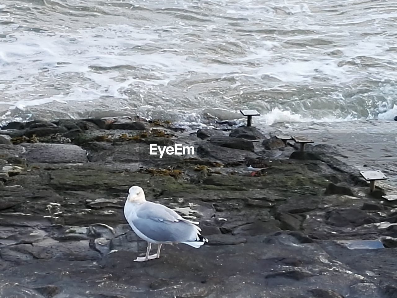 water, vertebrate, animal themes, bird, animal, animals in the wild, animal wildlife, seagull, sea, beach, motion, rock, perching, white color, nature, one animal, day, rock - object, no people, outdoors, flowing water