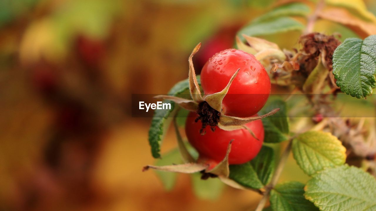 Close-up of rose hip on plant