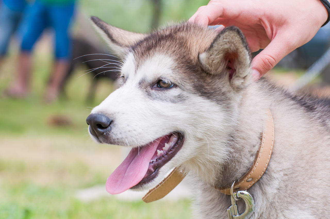 domestic animals, one animal, pets, animal, animal themes, mammal, domestic, human hand, vertebrate, dog, canine, hand, human body part, focus on foreground, real people, close-up, unrecognizable person, collar, human finger, finger, body part, mouth open, animal tongue, animal head, pet owner