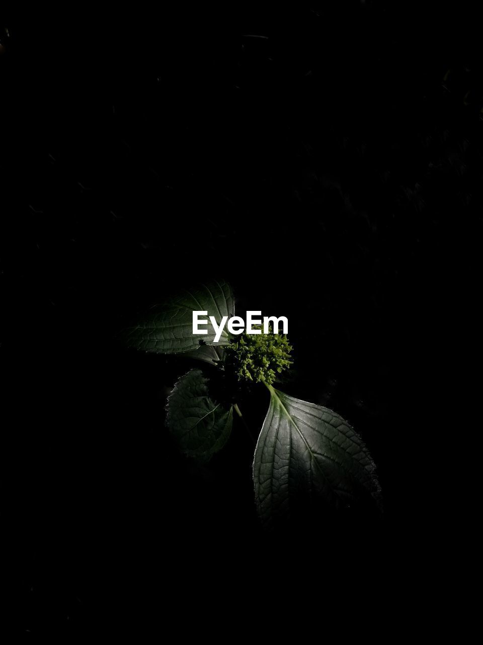 studio shot, freshness, black background, no people, copy space, plant, indoors, close-up, food, flower, beauty in nature, vegetable, food and drink, growth, flowering plant, nature, healthy eating, night, leaf, green color, dark, flower head