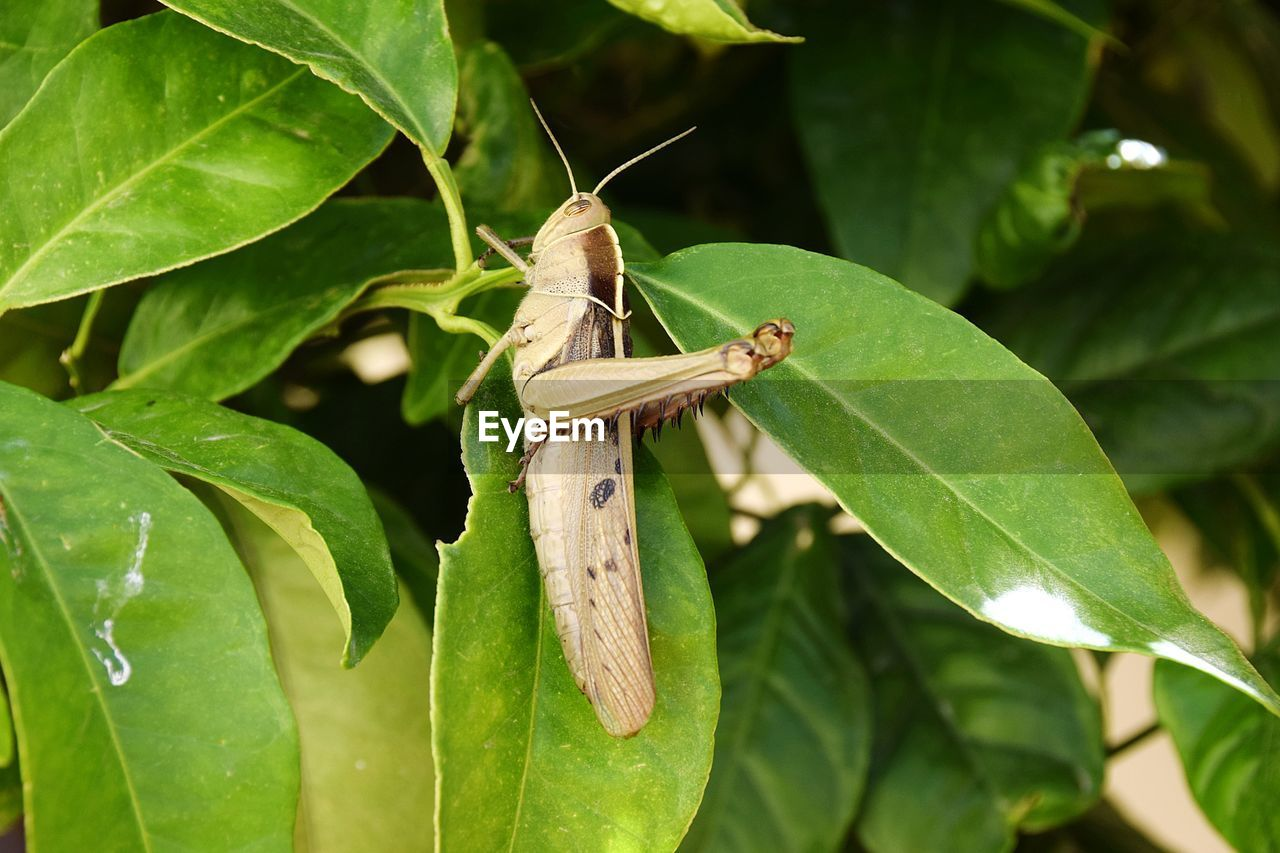 plant part, leaf, green color, animal themes, animals in the wild, one animal, animal, animal wildlife, invertebrate, plant, close-up, insect, focus on foreground, nature, growth, no people, day, grasshopper, outdoors, beauty in nature, leaves