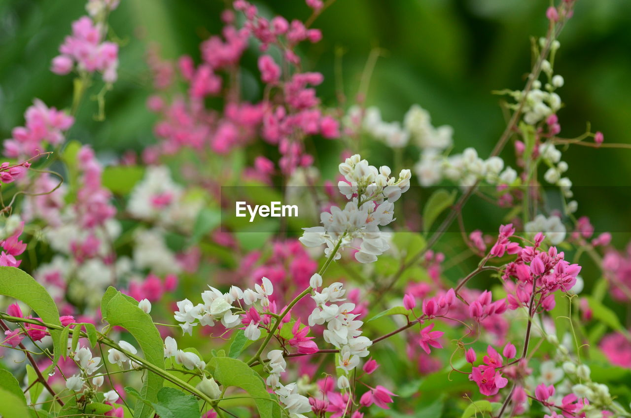 flower, flowering plant, plant, freshness, vulnerability, beauty in nature, fragility, growth, pink color, petal, close-up, flower head, inflorescence, selective focus, day, nature, no people, outdoors, park, park - man made space