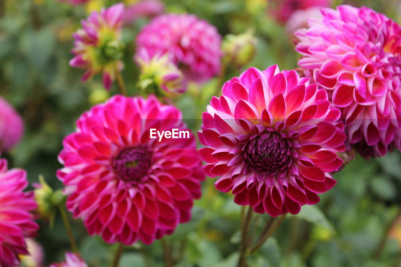 flower, flowering plant, plant, vulnerability, fragility, beauty in nature, freshness, close-up, growth, petal, flower head, inflorescence, pink color, focus on foreground, nature, day, no people, outdoors, selective focus, red
