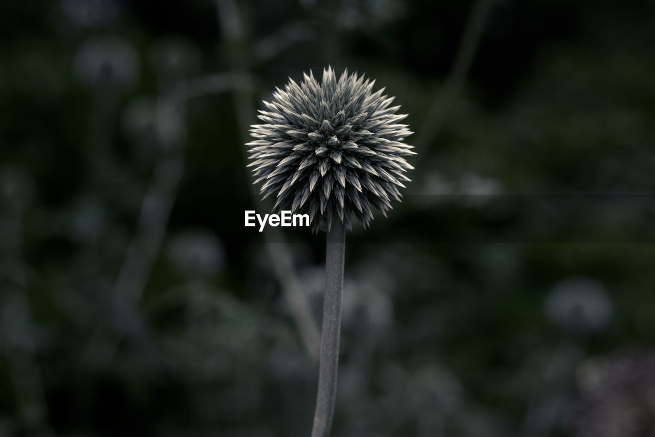 flower, flowering plant, fragility, plant, vulnerability, freshness, beauty in nature, growth, focus on foreground, close-up, plant stem, inflorescence, flower head, nature, no people, dandelion, day, land, outdoors, softness, dandelion seed, spiky