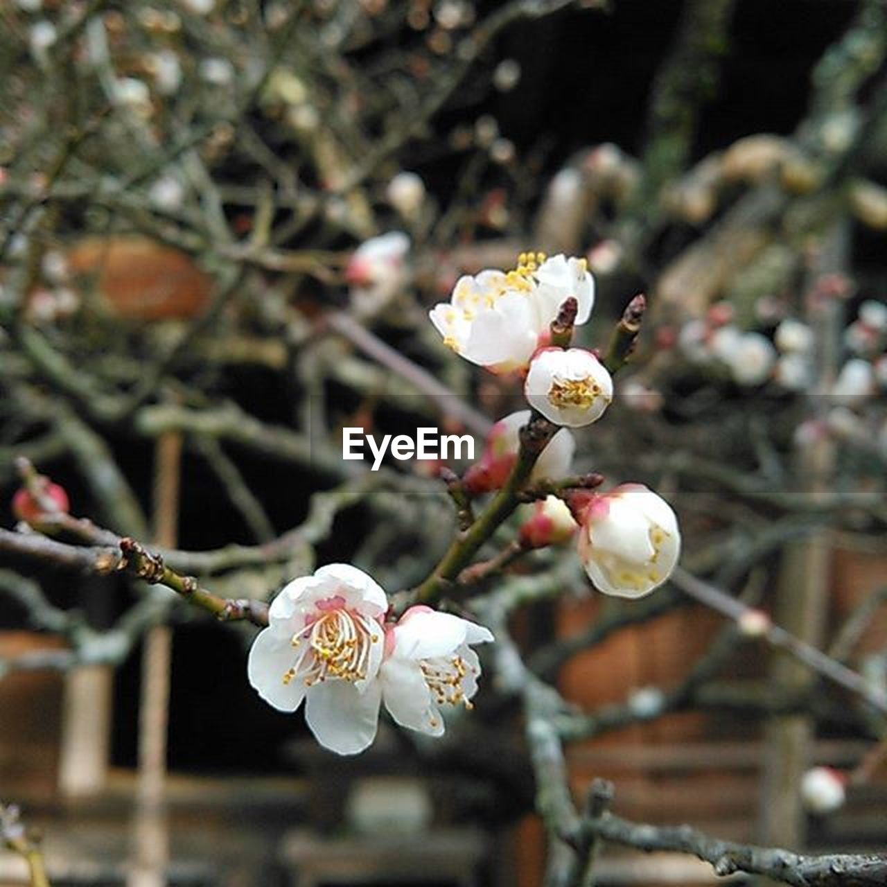 flower, fragility, white color, beauty in nature, blossom, nature, petal, growth, apple blossom, springtime, flower head, twig, branch, tree, botany, freshness, focus on foreground, plum blossom, orchard, day, no people, close-up, outdoors, blooming