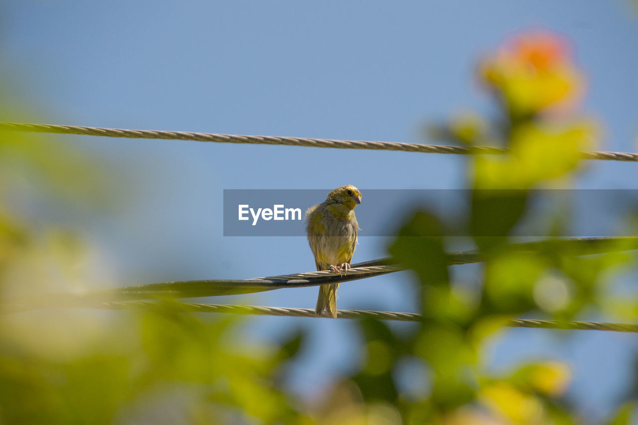 Canary perching on cable against sky
