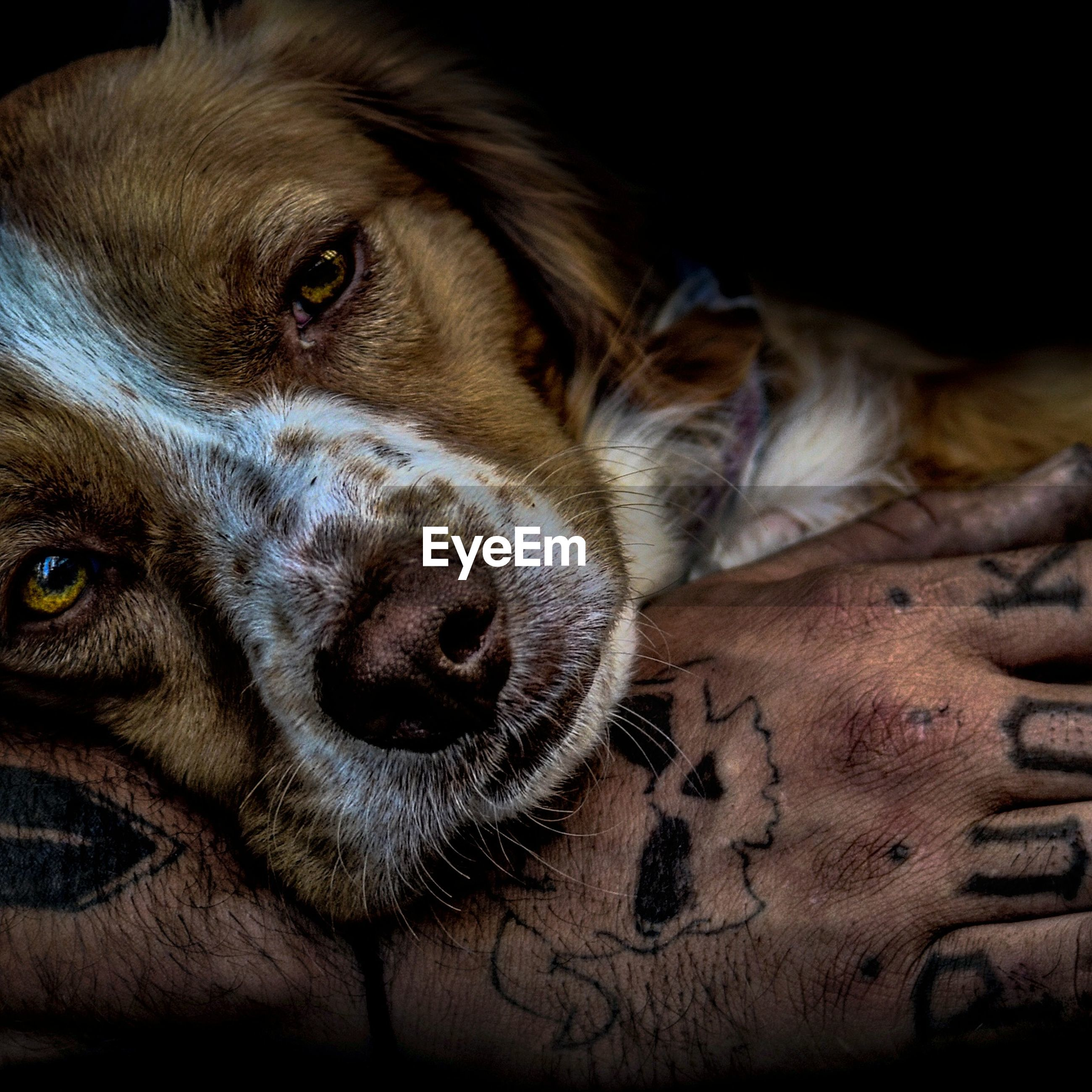 one animal, pets, animal themes, dog, animal head, animal body part, mammal, domestic animals, close-up, portrait, human body part, animal eye, indoors, one person, black background, people, day