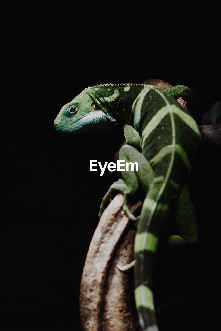 animal, animal themes, animal wildlife, one animal, black background, studio shot, close-up, animals in the wild, vertebrate, green color, no people, reptile, indoors, plant part, leaf, lizard, nature, copy space, night, animal body part, animal head, animal scale, animal eye