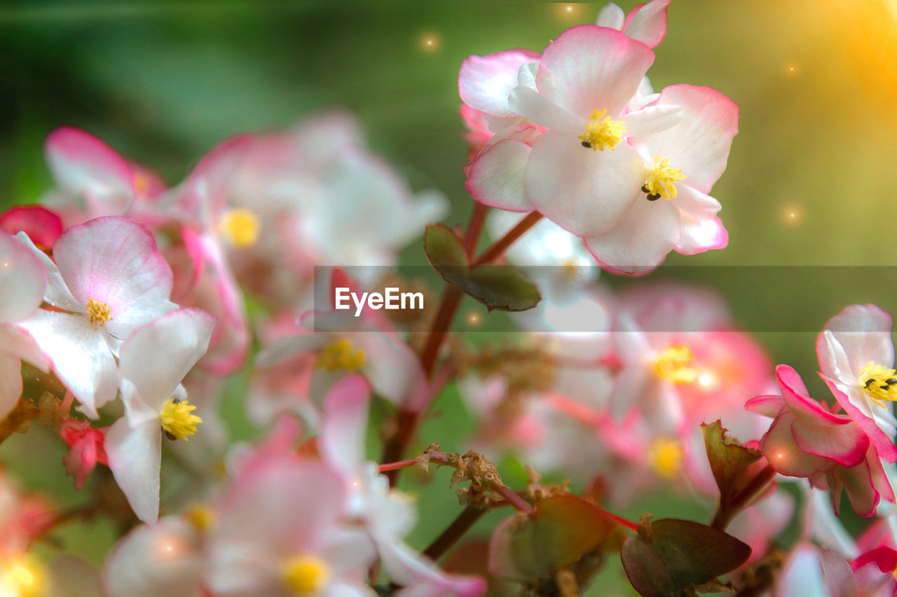 flowering plant, flower, plant, freshness, beauty in nature, growth, vulnerability, fragility, petal, pink color, close-up, selective focus, nature, inflorescence, flower head, no people, day, pollen, springtime, blossom, outdoors, cherry blossom, cherry tree, spring