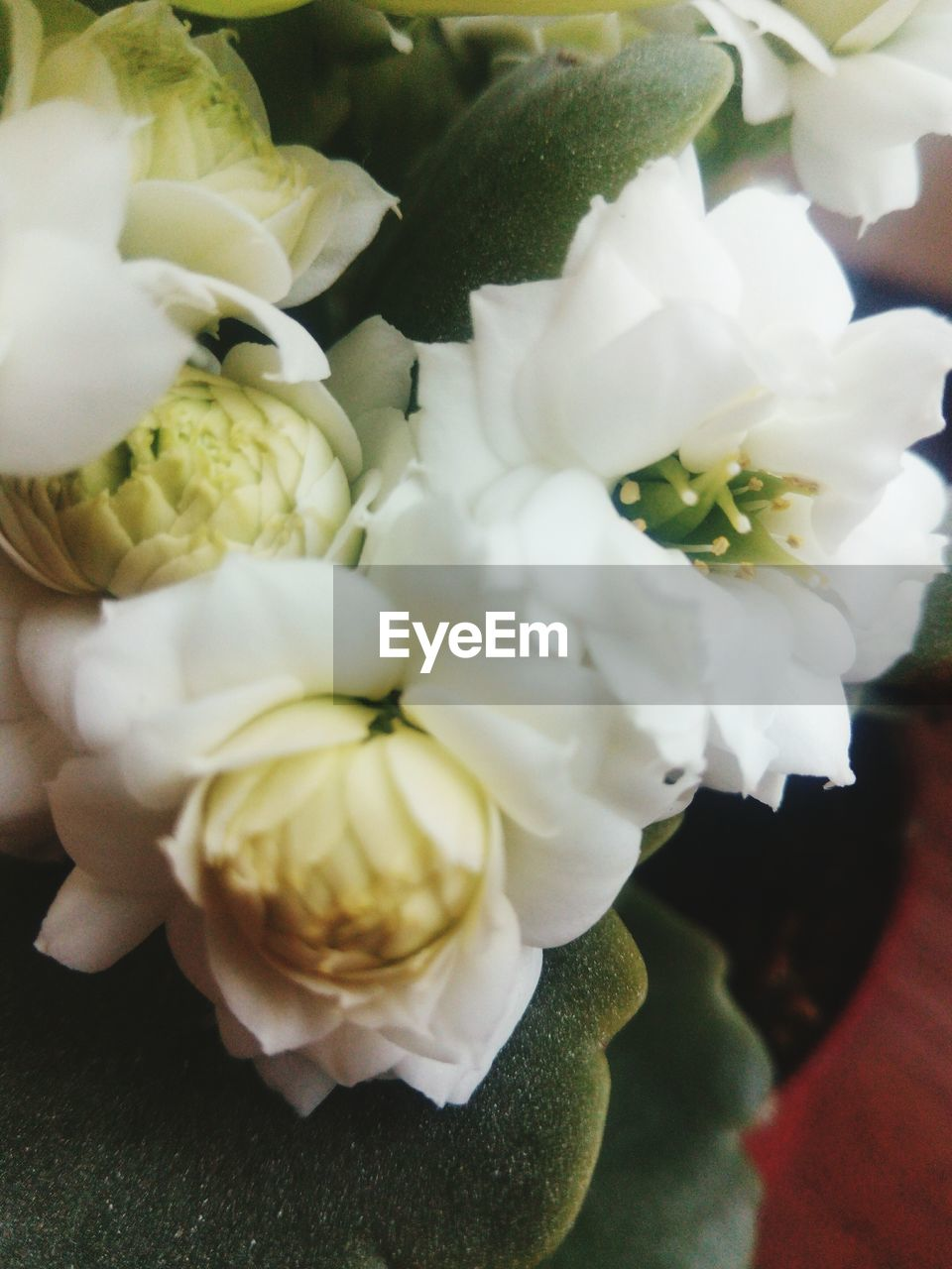 flower, petal, freshness, flower head, white color, close-up, fragility, no people, nature, beauty in nature, rose - flower, indoors, plant, day
