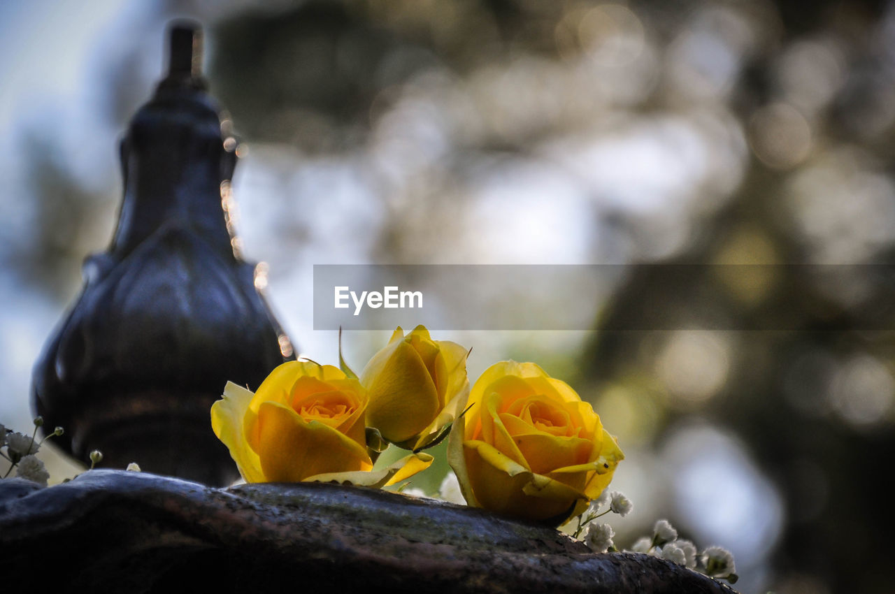 Low angle view of yellow roses on fountain