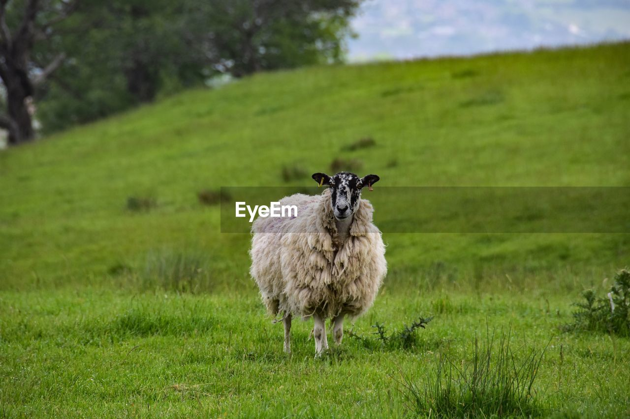animal themes, animal, grass, plant, mammal, field, vertebrate, land, green color, domestic animals, livestock, nature, pets, domestic, one animal, sheep, landscape, environment, standing, day, no people, outdoors, herbivorous
