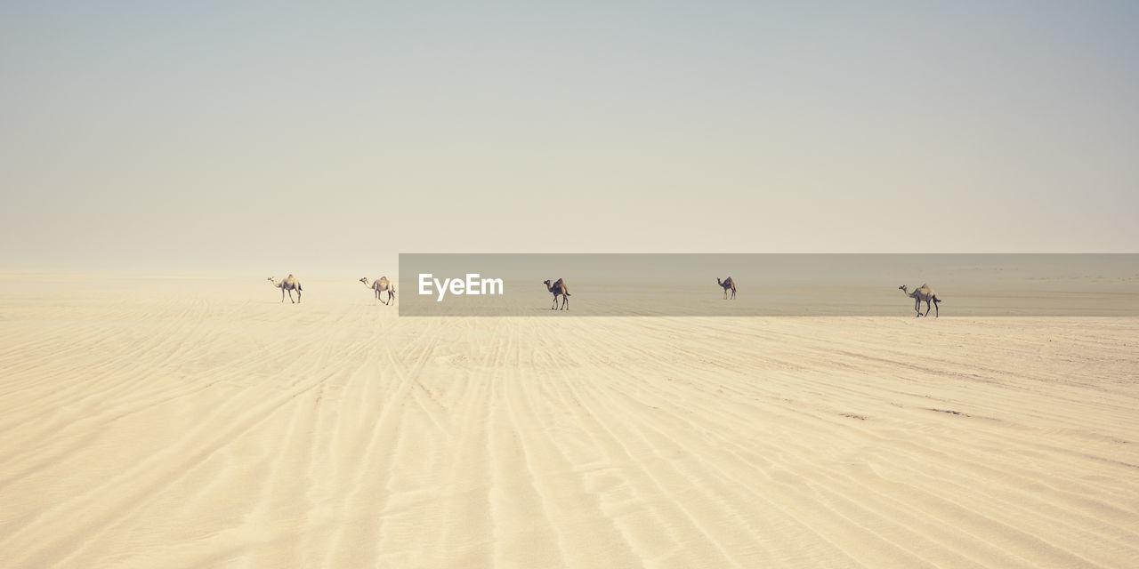Camels Walking On Desert Against Clear Sky