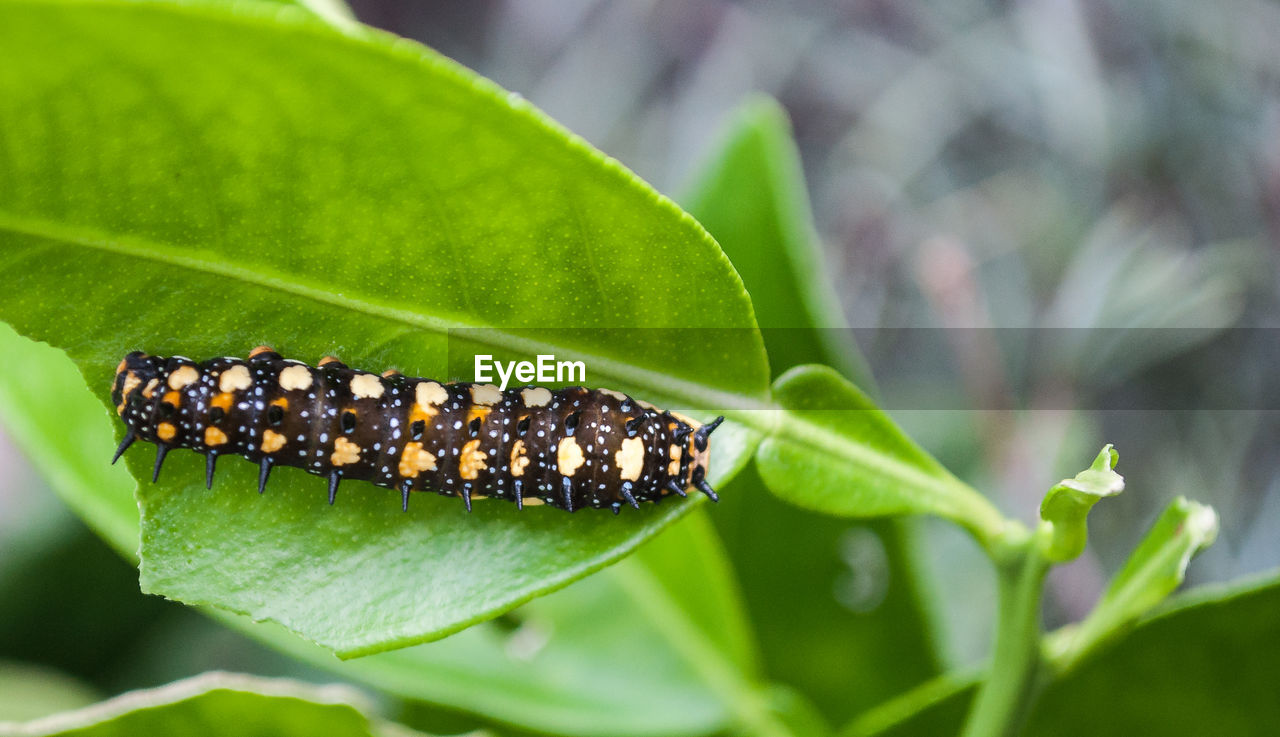leaf, plant part, green color, plant, close-up, nature, growth, no people, focus on foreground, animals in the wild, day, animal wildlife, animal themes, insect, invertebrate, animal, freshness, one animal, beauty in nature, caterpillar, outdoors, butterfly - insect