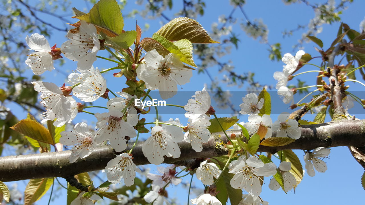 plant, low angle view, growth, tree, flower, flowering plant, sky, beauty in nature, vulnerability, fragility, freshness, branch, springtime, blossom, day, nature, no people, close-up, white color, petal, outdoors, cherry blossom, flower head, cherry tree