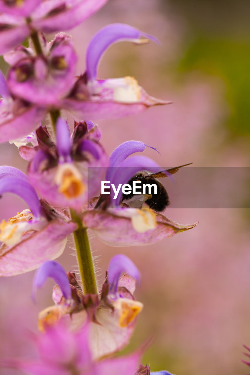 flower, flowering plant, fragility, vulnerability, freshness, beauty in nature, petal, plant, growth, close-up, flower head, insect, one animal, bee, invertebrate, selective focus, animals in the wild, animal themes, purple, nature, no people, pollination, pollen
