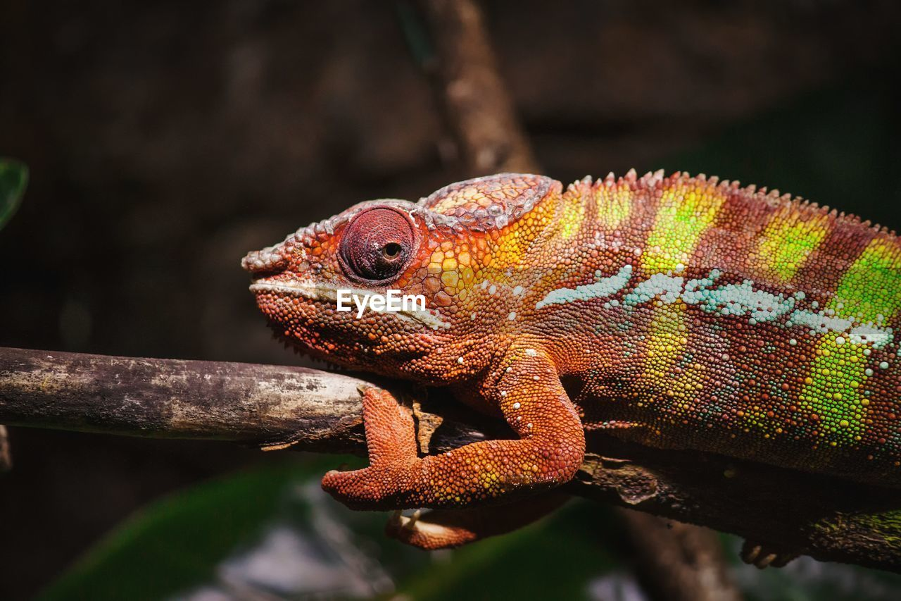 Close-up of chameleon on plant