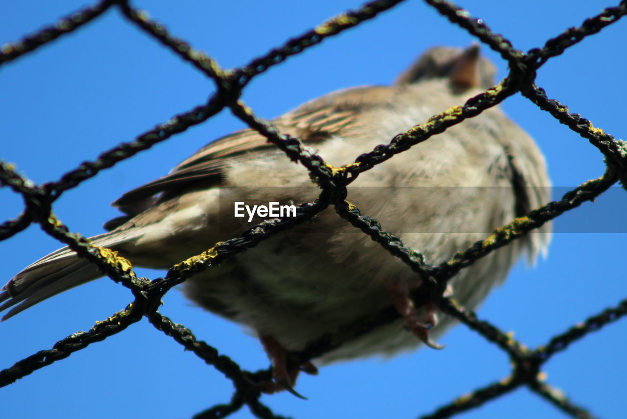 Close-Up Of Sparrow Perching On Fence Against Clear Blue Sky