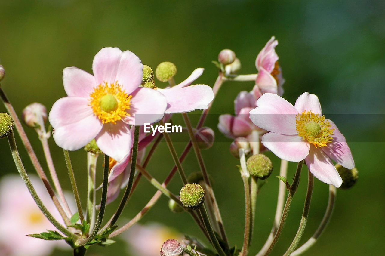 flower, flowering plant, plant, fragility, growth, vulnerability, freshness, beauty in nature, close-up, petal, nature, inflorescence, flower head, pink color, no people, blossom, pollen, selective focus, day, bud, outdoors, springtime, spring