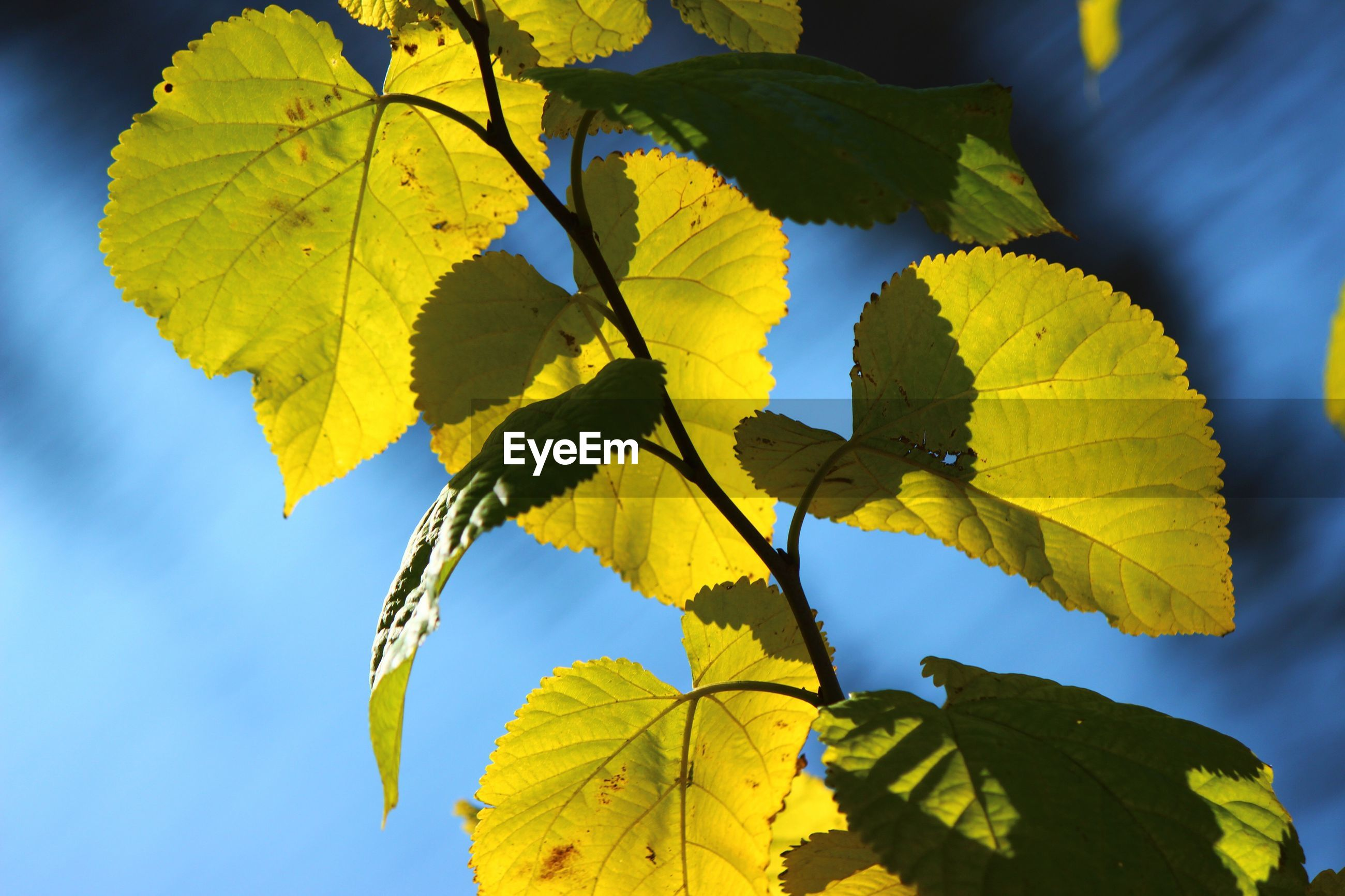 leaf, yellow, nature, autumn, blue, no people, growth, outdoors, close-up, tree, change, sky, low angle view, plant, beauty in nature, branch, day