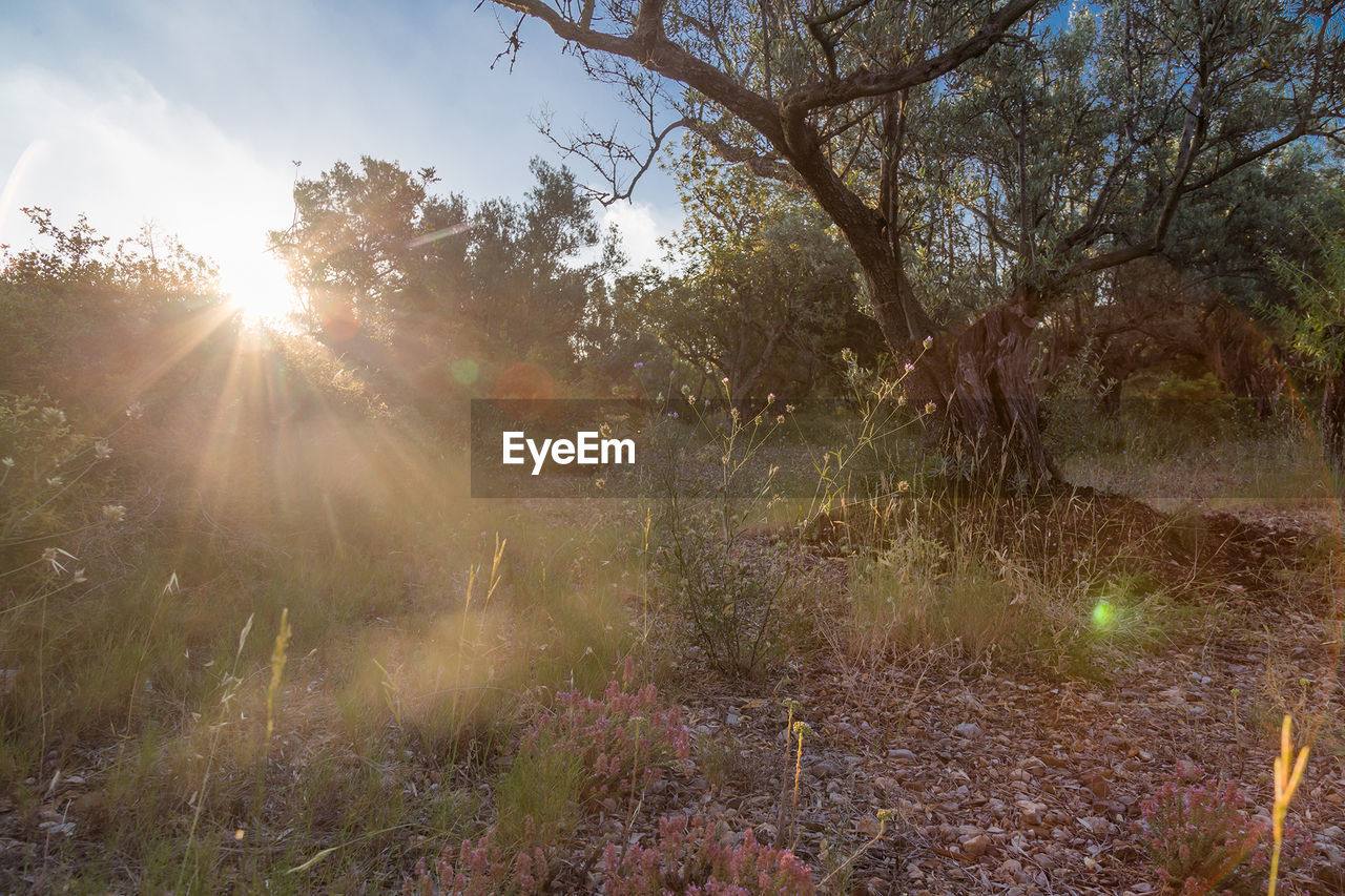 sunbeam, nature, sunlight, lens flare, tranquility, tree, sun, tranquil scene, no people, growth, outdoors, beauty in nature, day, landscape, scenics, forest, grass, branch, sky