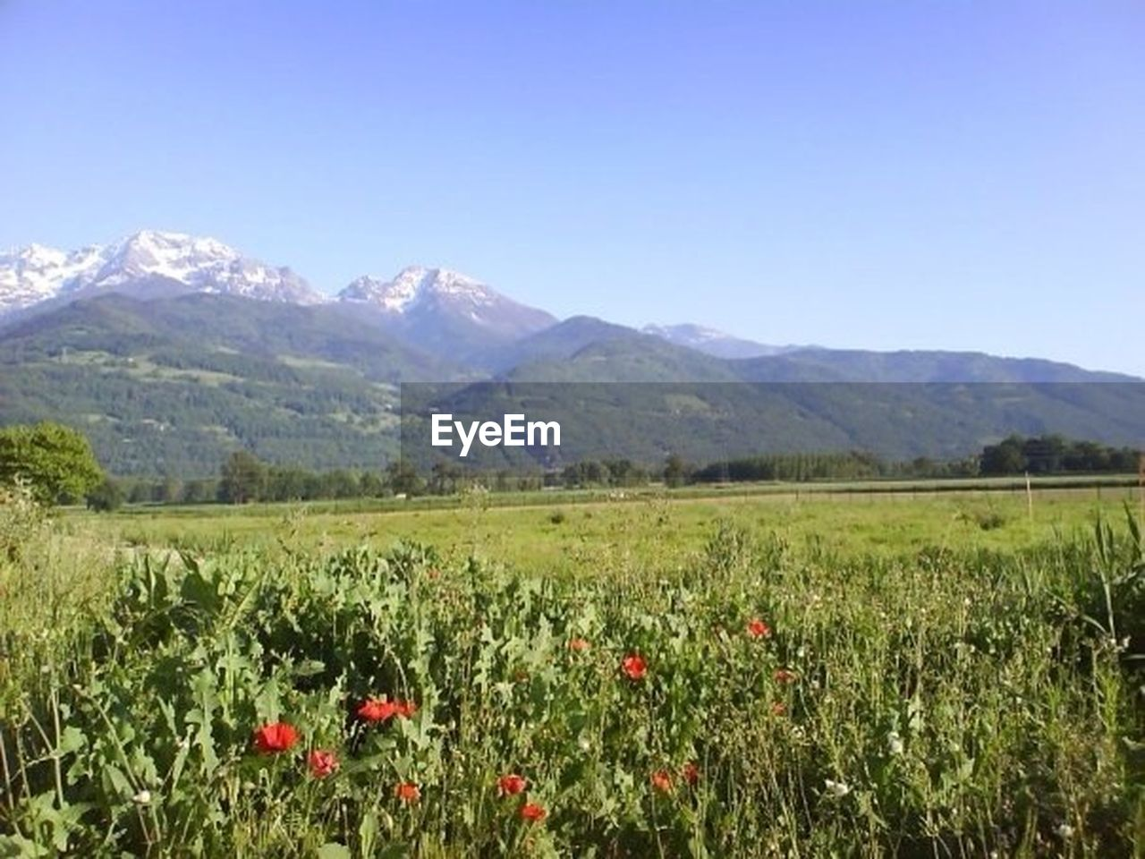 mountain, nature, landscape, scenics, mountain range, outdoors, flower, field, agriculture, beauty in nature, summer, rural scene, plant, clear sky, day, sky, no people, freshness