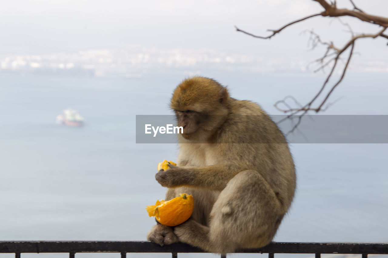primate, monkey, animal, animal themes, animals in the wild, animal wildlife, mammal, focus on foreground, sitting, vertebrate, eating, no people, nature, sky, food, one animal, day, food and drink, outdoors, fruit, animal family