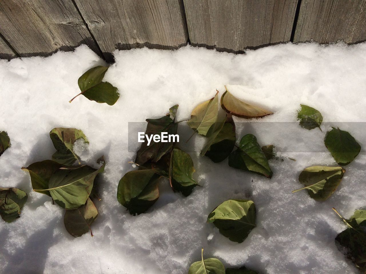 High angle view of snow covered leaves on land