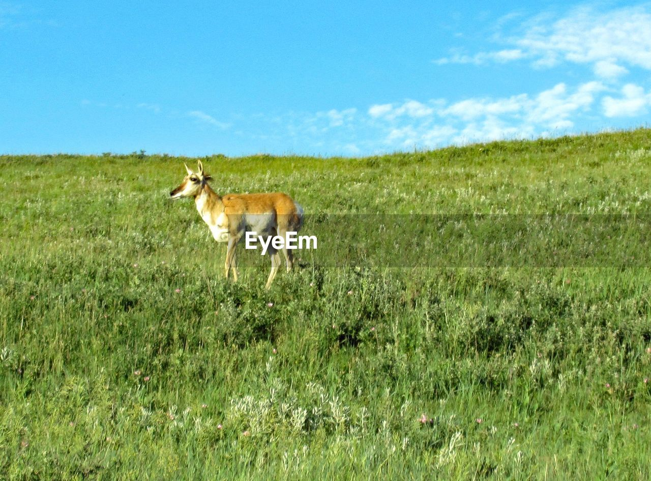 grass, one animal, animal themes, field, mammal, nature, day, domestic animals, green color, no people, outdoors, full length, landscape