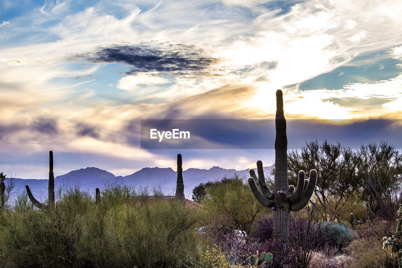 cloud - sky, sky, plant, beauty in nature, scenics - nature, cactus, tranquil scene, succulent plant, tranquility, nature, saguaro cactus, no people, non-urban scene, growth, tree, land, landscape, environment, day, field, outdoors, climate, arid climate