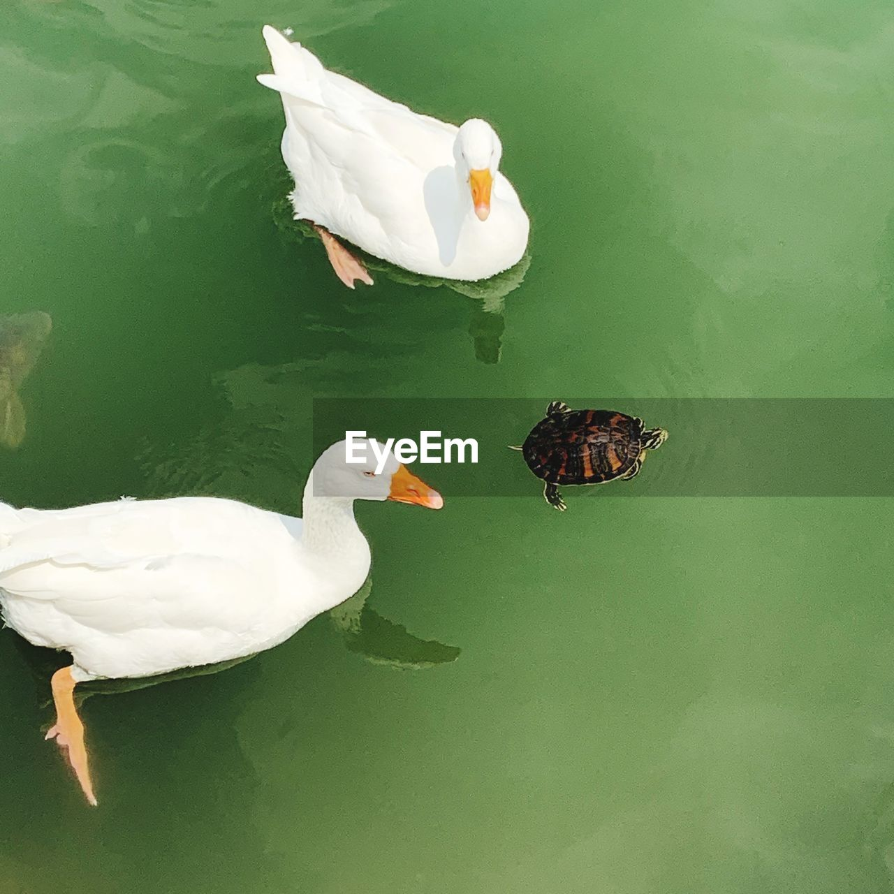 animal themes, animal, bird, water, vertebrate, animals in the wild, lake, animal wildlife, group of animals, swimming, duck, poultry, day, nature, high angle view, no people, waterfront, water bird, white color, animal family