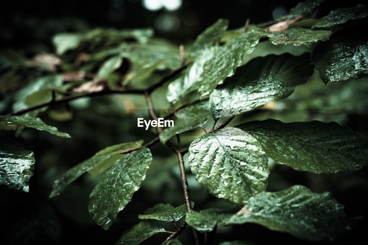 leaf, plant part, plant, growth, close-up, nature, selective focus, no people, green color, beauty in nature, leaves, focus on foreground, day, tranquility, water, drop, wet, outdoors, rain, raindrop, dew