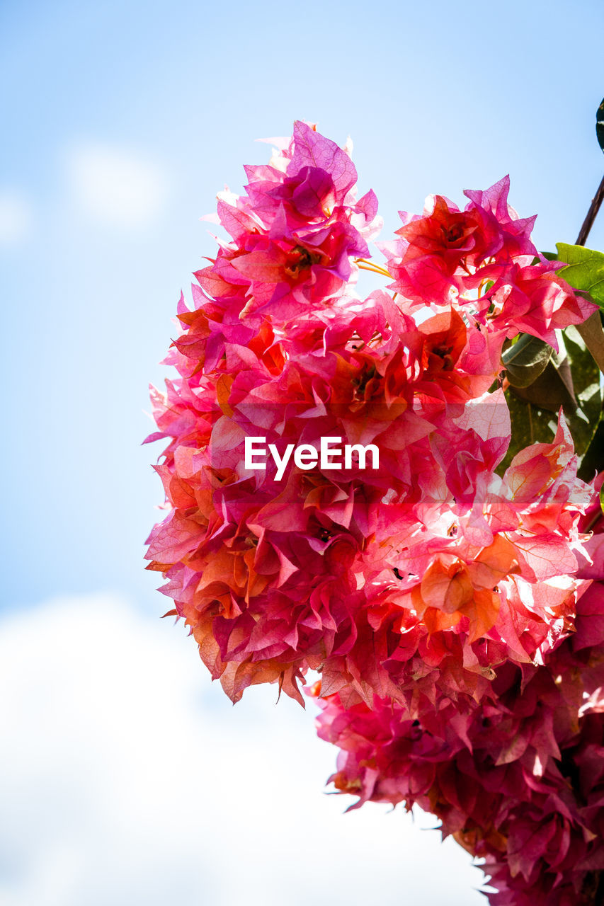 Low angle view of pink bougainvillea blooming against sky