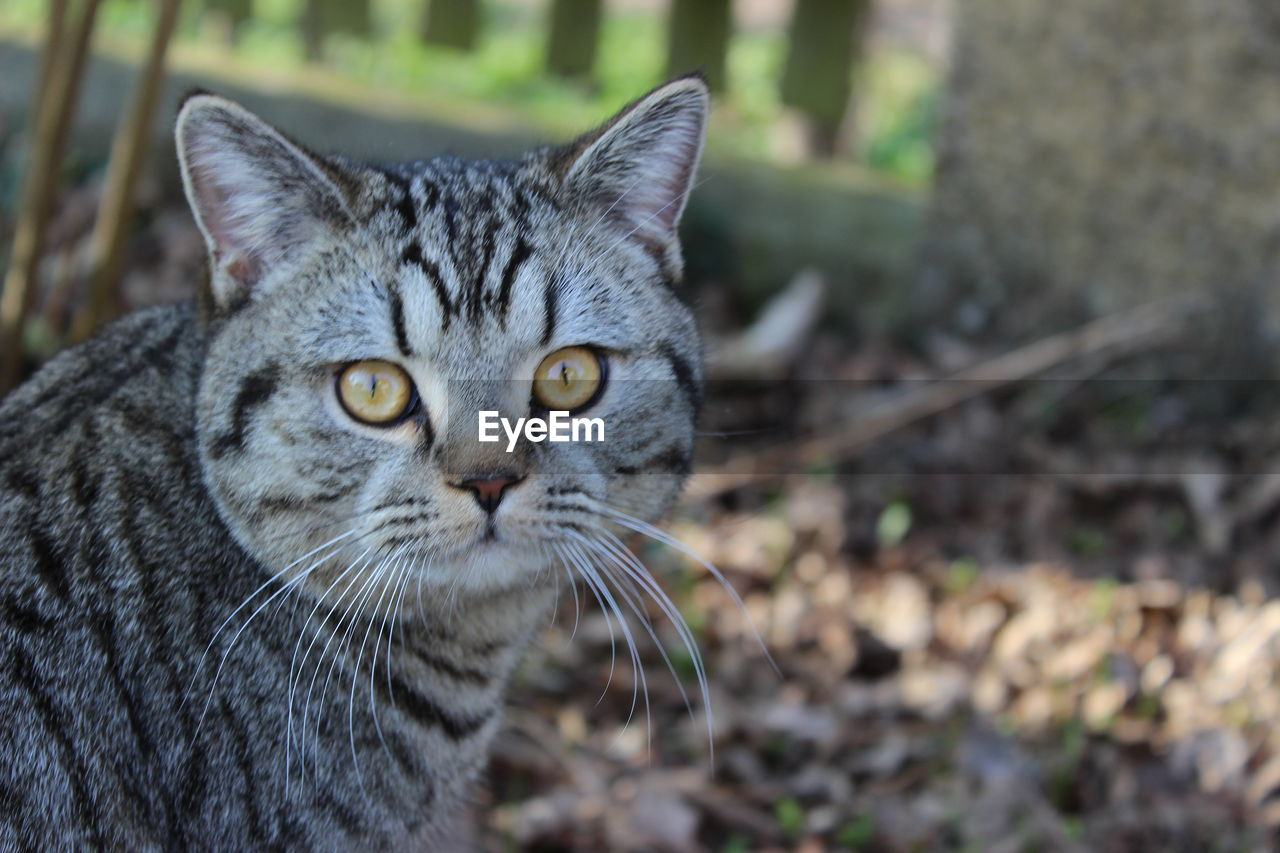 cat, animal themes, feline, animal, pets, mammal, domestic, one animal, domestic cat, domestic animals, vertebrate, whisker, focus on foreground, no people, close-up, day, portrait, looking at camera, field, land, animal head, tabby, animal eye, yellow eyes