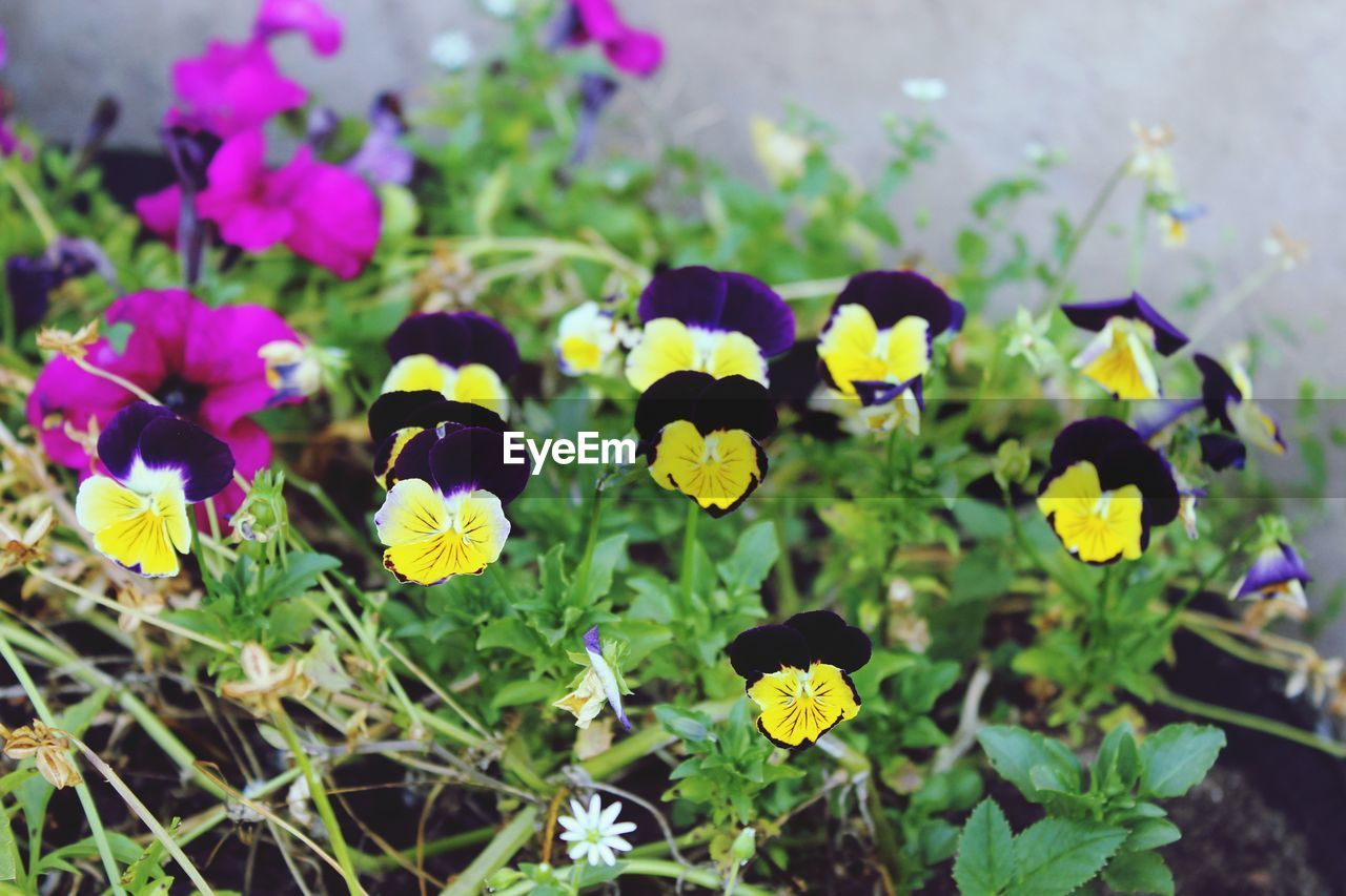 flowering plant, flower, plant, freshness, beauty in nature, fragility, vulnerability, growth, petal, flower head, inflorescence, nature, pansy, close-up, day, no people, plant part, leaf, purple, selective focus, outdoors