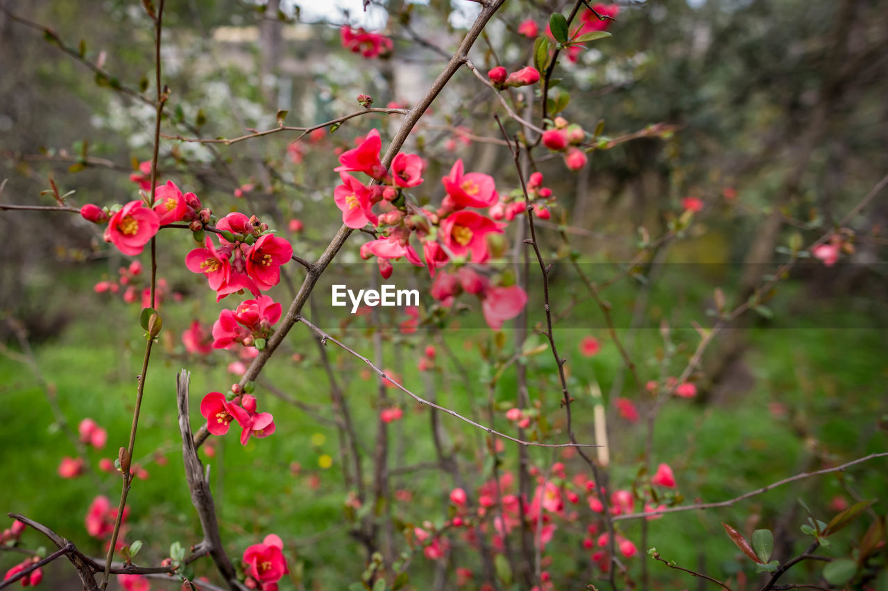plant, growth, beauty in nature, freshness, flower, flowering plant, focus on foreground, nature, tree, red, day, branch, no people, selective focus, close-up, pink color, outdoors, fragility, vulnerability, berry fruit, springtime, spring