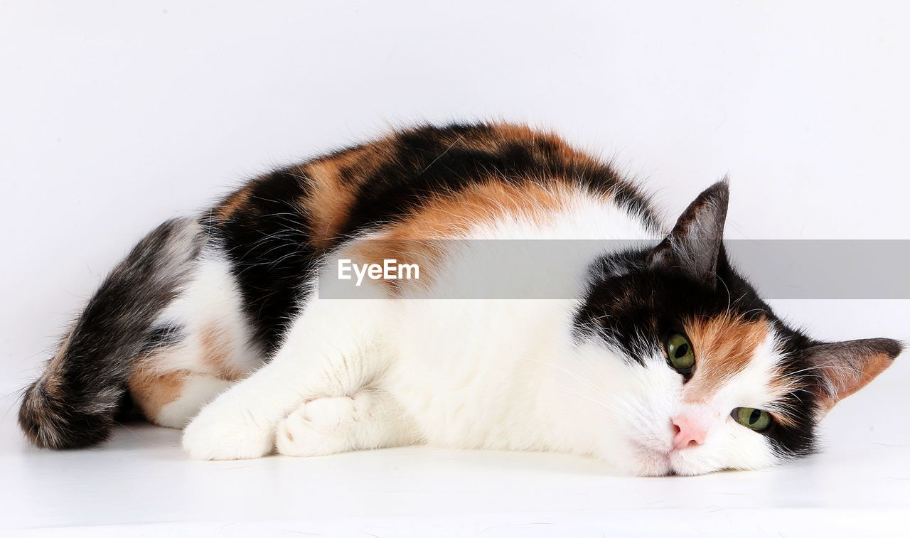 Close-up portrait of cat lying down on white background