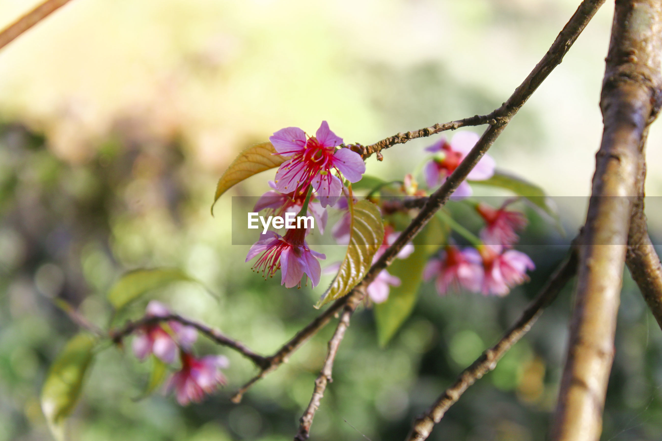 CLOSE-UP OF PINK FLOWER ON BRANCH