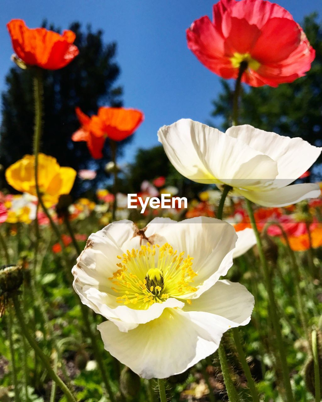 flower, petal, fragility, flower head, beauty in nature, nature, freshness, growth, white color, plant, blooming, focus on foreground, no people, day, outdoors, close-up, pollen, stamen, cosmos flower