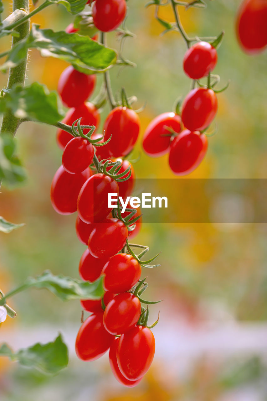red, food and drink, fruit, plant, food, close-up, healthy eating, growth, freshness, nature, focus on foreground, no people, wellbeing, tree, beauty in nature, day, berry fruit, bunch, green color, plant part, ripe, outdoors, rowanberry, red currant