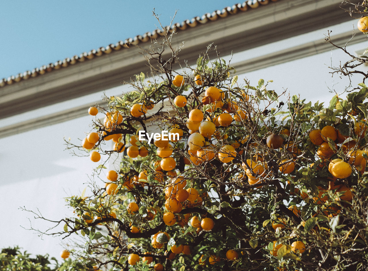 Low angle view of orange tree against sky