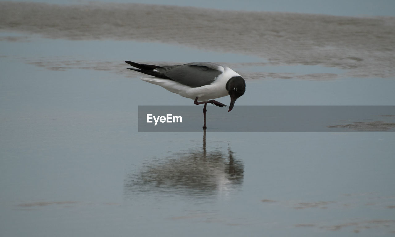 animal, animal themes, bird, vertebrate, animals in the wild, one animal, animal wildlife, water, reflection, beach, no people, day, waterfront, lake, nature, black-headed gull, sand, focus on foreground