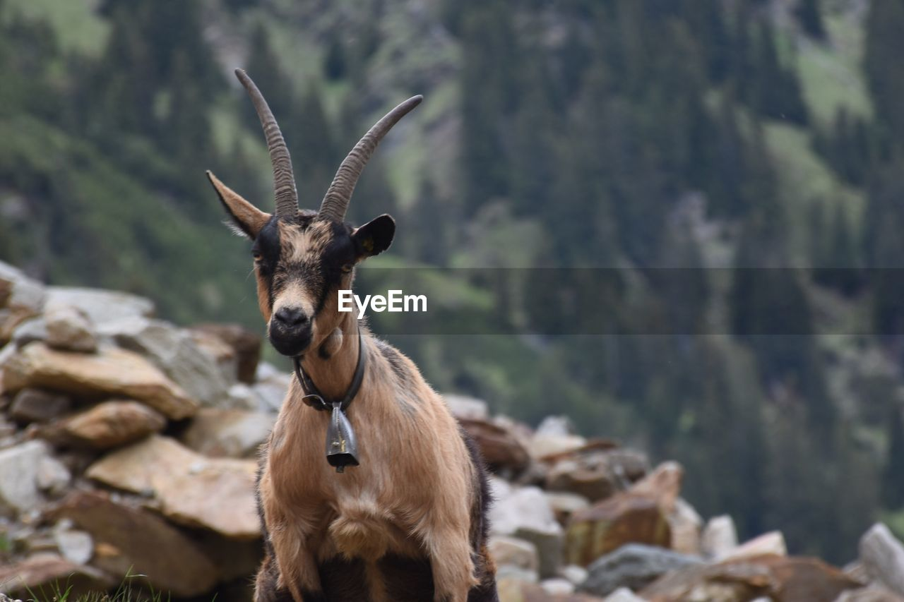 Front View Of Goat On Rocky Mountain