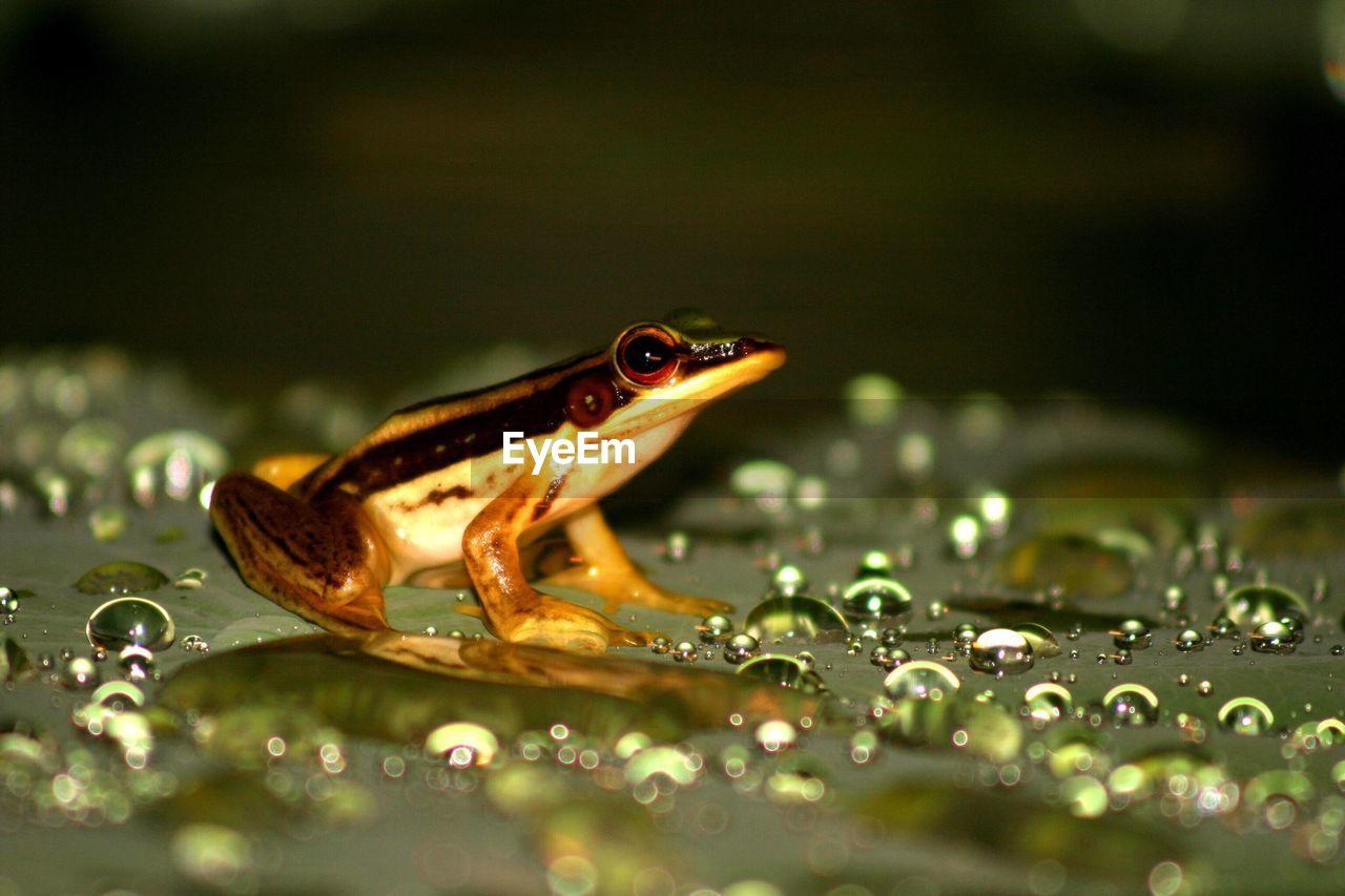 Close-Up Of Frog On Wet Leaf